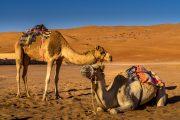 Camels at Wahiba Sands