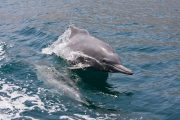 Dolphins at Muscat